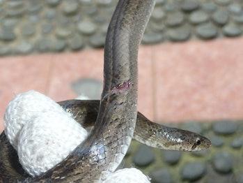 kukri snake injury