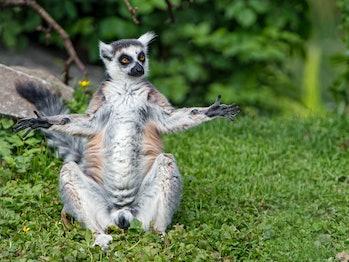 "Lemur ""praying the sun"""