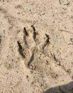 wolf footprint