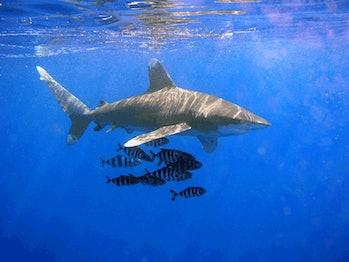 shark week oceanic white tip