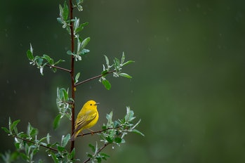 Researchers saw that warblers were some of the birds whose populations decreased the most in the pas...