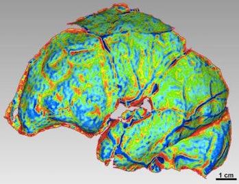 Homo naledi, brain