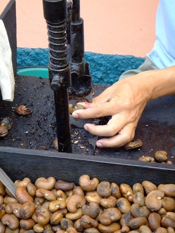 Hand shelling cashew nuts