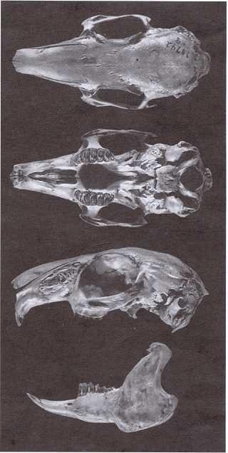 omiltemi cottontail rabbit skull