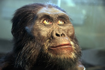 "A reconstruction of the head of an Australopithecus afarensis -- a human ancestor -- on display in the Hall of Human Origins in the Smithsonian Museum of Natural History in Washington, D.C. Australopithecus afarensis is an extinct human ancestor that lived between 3.9 to 2.9 million years ago. It is more closely related to human beings that Australopithecus africanus, which also lived at about the same time. Australopithecus afarensis was discovered in the Afar region of Ethiopia (hence the name ""afarensis"") in November 1973. The genus name, ""Australopithecus"", comes from the Latin word australis (or ""southern"") and the Greek word pithekos (""ape""). The most famous find is a partial skeleton discovered on November 24, 1974. It was named named Lucy because the scientists who found it repeatedly played the song ""Lucy in the Sky with Diamonds"" in celebration."