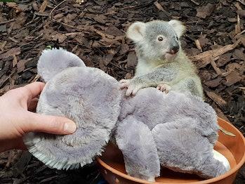 koala baby joey