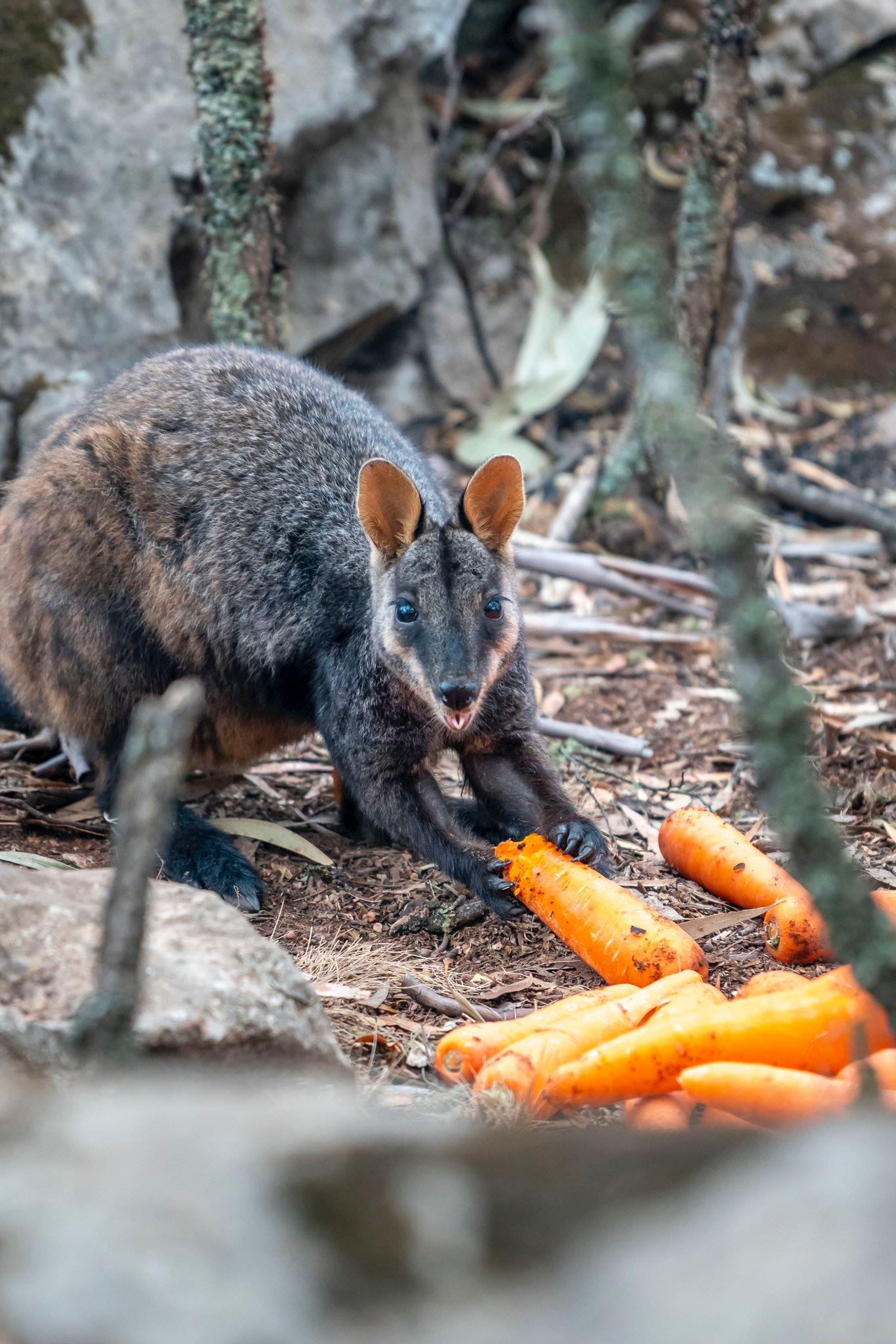 wallaby eating carrots