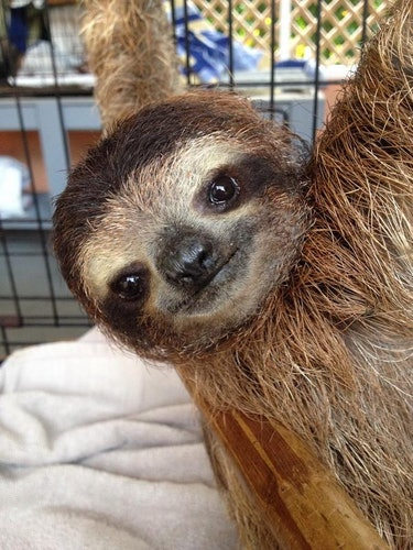 sloth tagged with a backpack