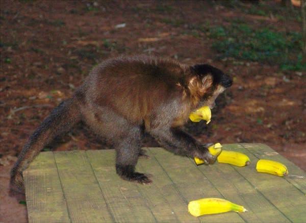 Macaque matching bananas