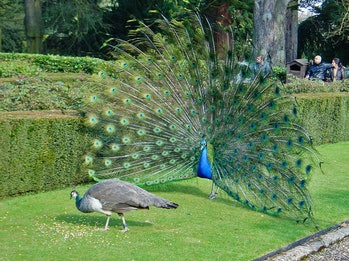 Peacock feathers on full display