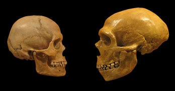 Neanderthal skull, human skull