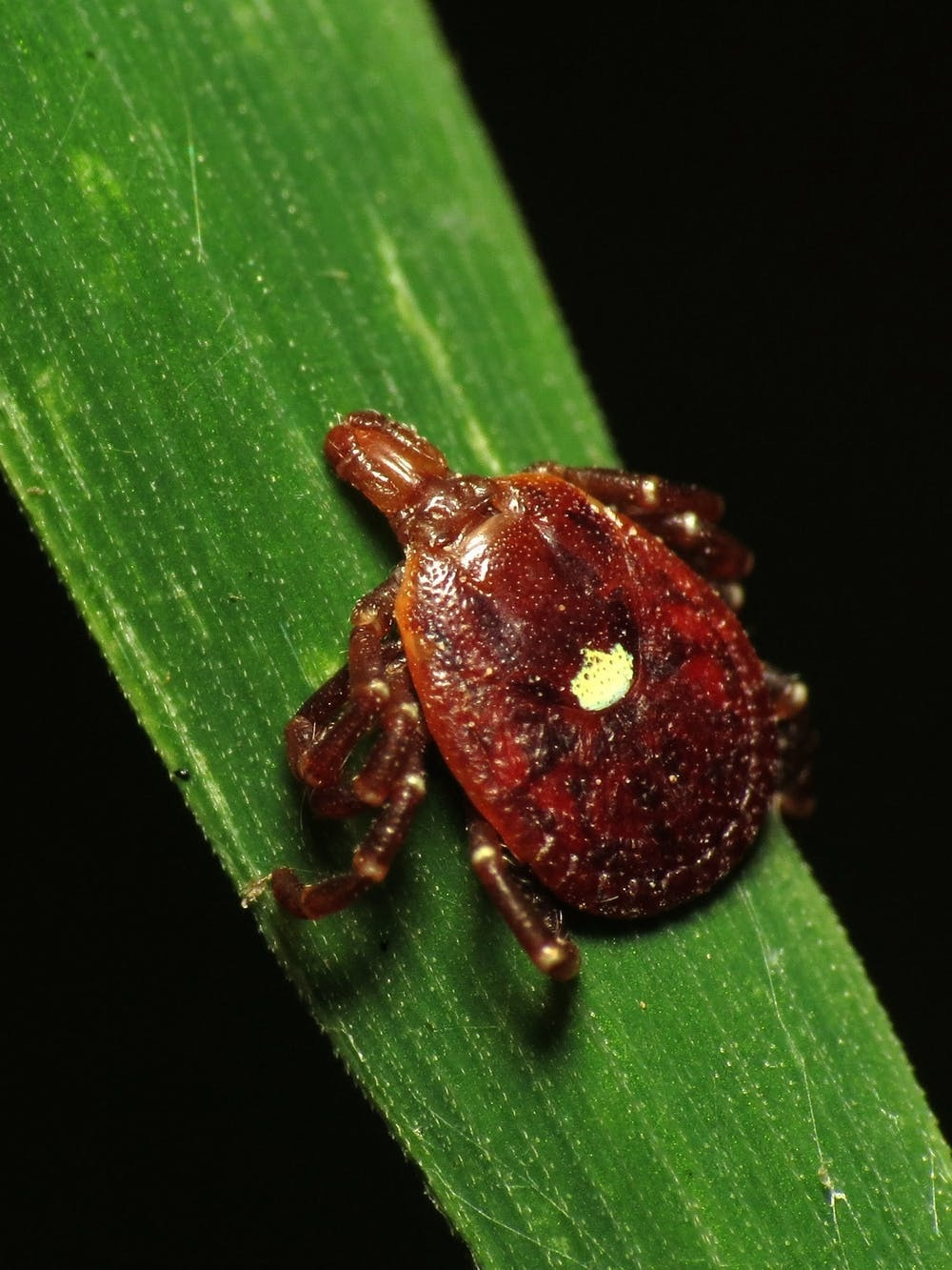 lone star tick meat allergy