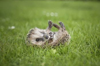 hedgehog playing on its back in a field