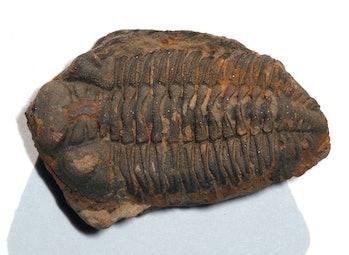 Trilobite Metacryphaeus
