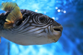 The flesh of the pufferfish, when properly prepared, is a delicacy. But its organs are deadly toxin.