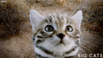 black-footed kitten