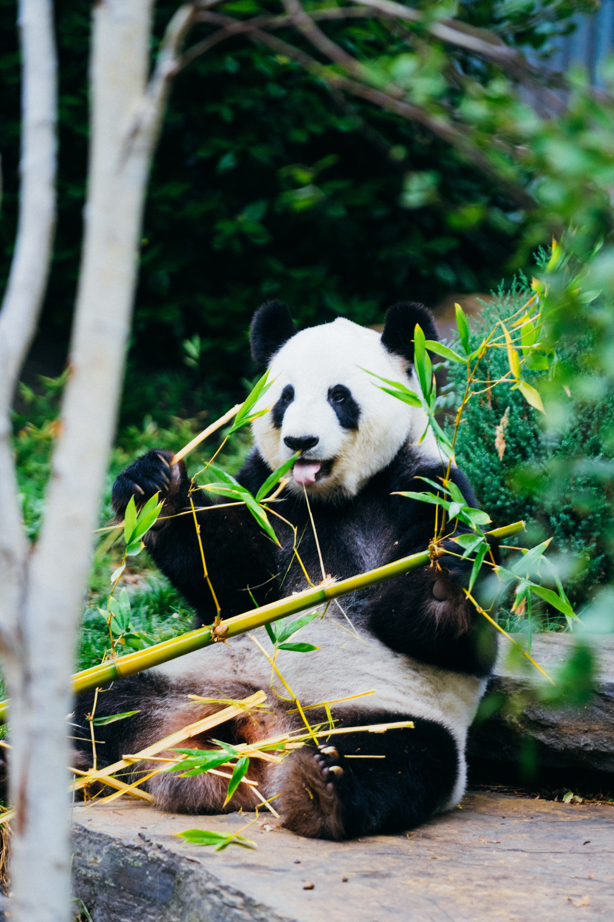 Giant pandas focus on leaves and young shoots that have more protein and less fiber, rather than stalks, which have more fiber and less protein.