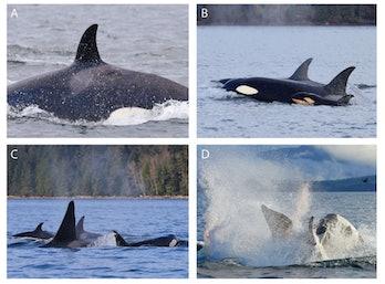 killer whale attack
