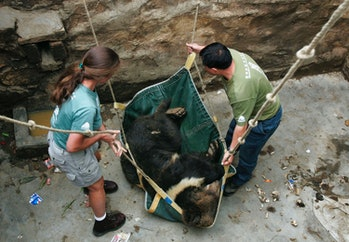 LITANG COUNTY, CHINA - JULY 24: (CHINA OUT) Veterinarians of the Chengdu Asia Black Bear Rescue Center lift an anaesthetized Himalayan brown bear raised in a pit at Zha Ga Temple on July 24, 2005 in Litang County of Ganzi Tibetan Autonomous Prefecture, Sichuan Province, China. The temple have bought two Himalayan brown bears from traffickers and handed over them to the rescue center with the help of local forest departments. The center is Asia's largest black bear rescue center, which has saved over 100 black bears, according to Animals Asia Foundation (AAF). Financed by the AAF, it has cooperated with local governments to work towards the future elimination of bear farming in China. (Photo by China Photos/Getty Images)