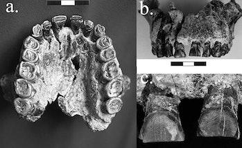 fossils left handedness
