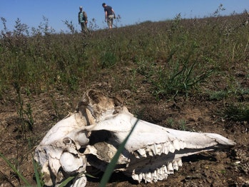 Researchers watched saiga antelopes die, then took tissue samples for lab analysis.