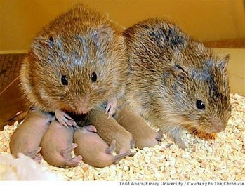 prairie vole rodent mate social pair bond romance love wow B^) neat science