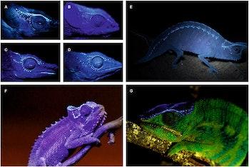 UV glowing chameleons