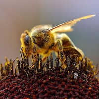 Puerto Rico's 'Gentle Killer Bees' Could Save the World's Honey