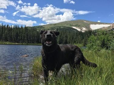 Bear, CBD, dog