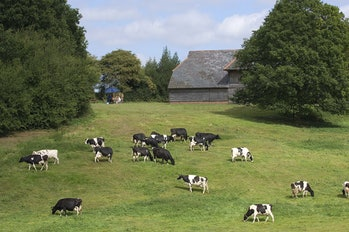 Cows graze in a field at the Winterdale Cheese Farm in Kent in the Southeast of England.