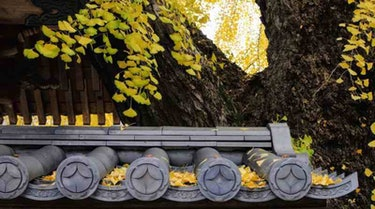 gingko anraku-ji temple
