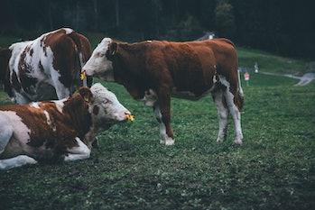 farmed cattle