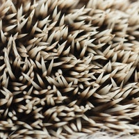 Hedgehog Spines Hold the Secret to Preventing Concussions