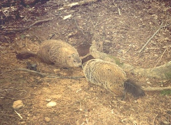 male female groundhogs meeting