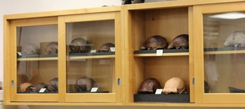 Detailed casts of the 12 skulls found at Ngandong.
