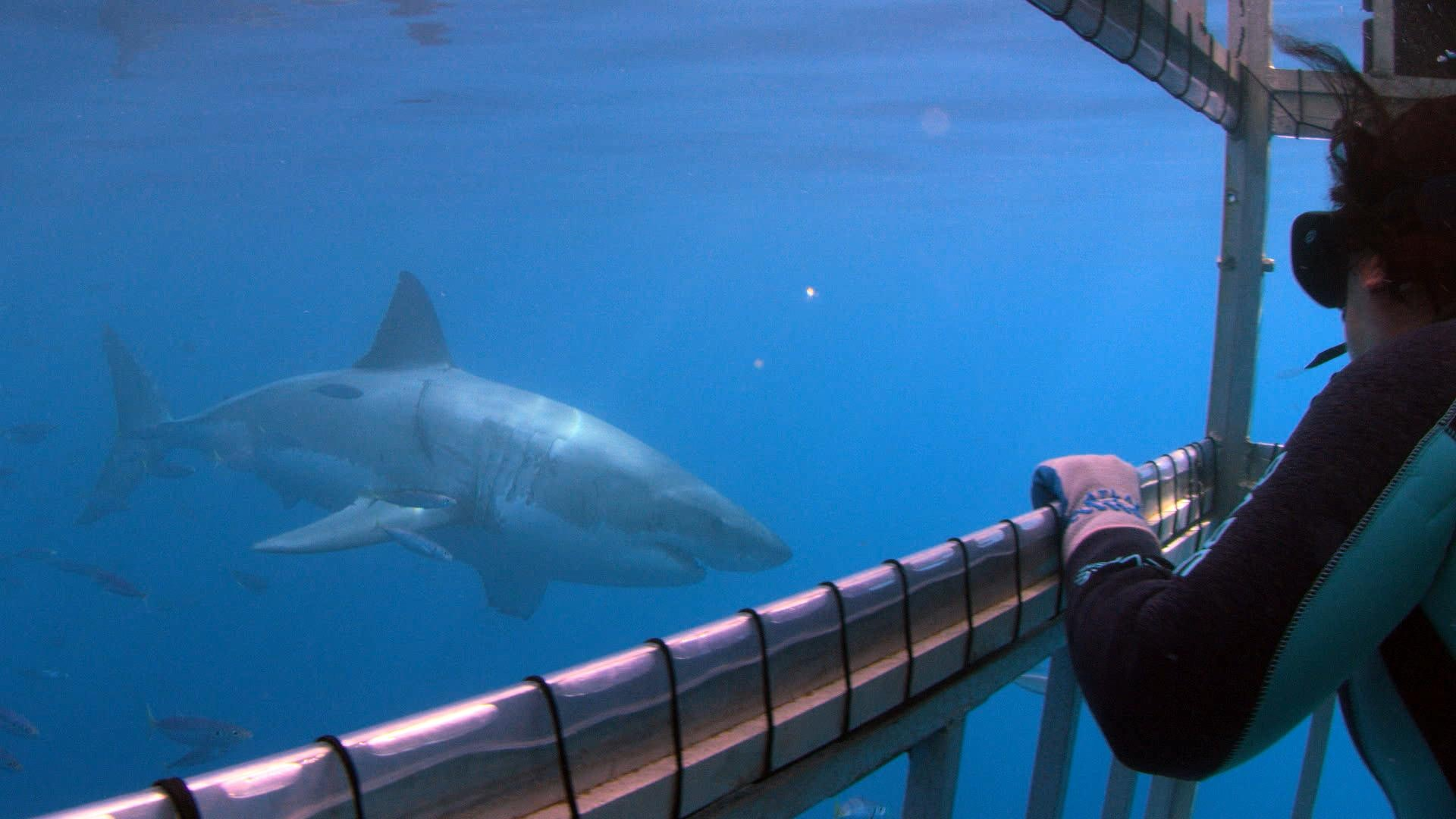Toby Daly-Engel stares down an adult great white shark before collecting a DNA sample from it.