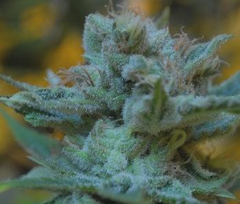 sperm Cannabis and