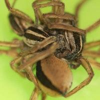 Spider Threesomes Help 'Moocher Males' Avoid Cannibalism