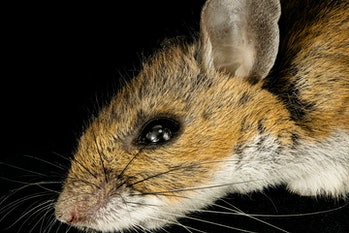 White-footed Mouse, _2016-03-08-11.46