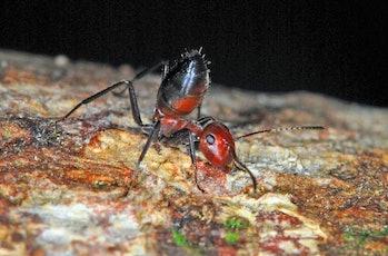 Exploding ant