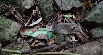 Mice, Mindoro, evolution