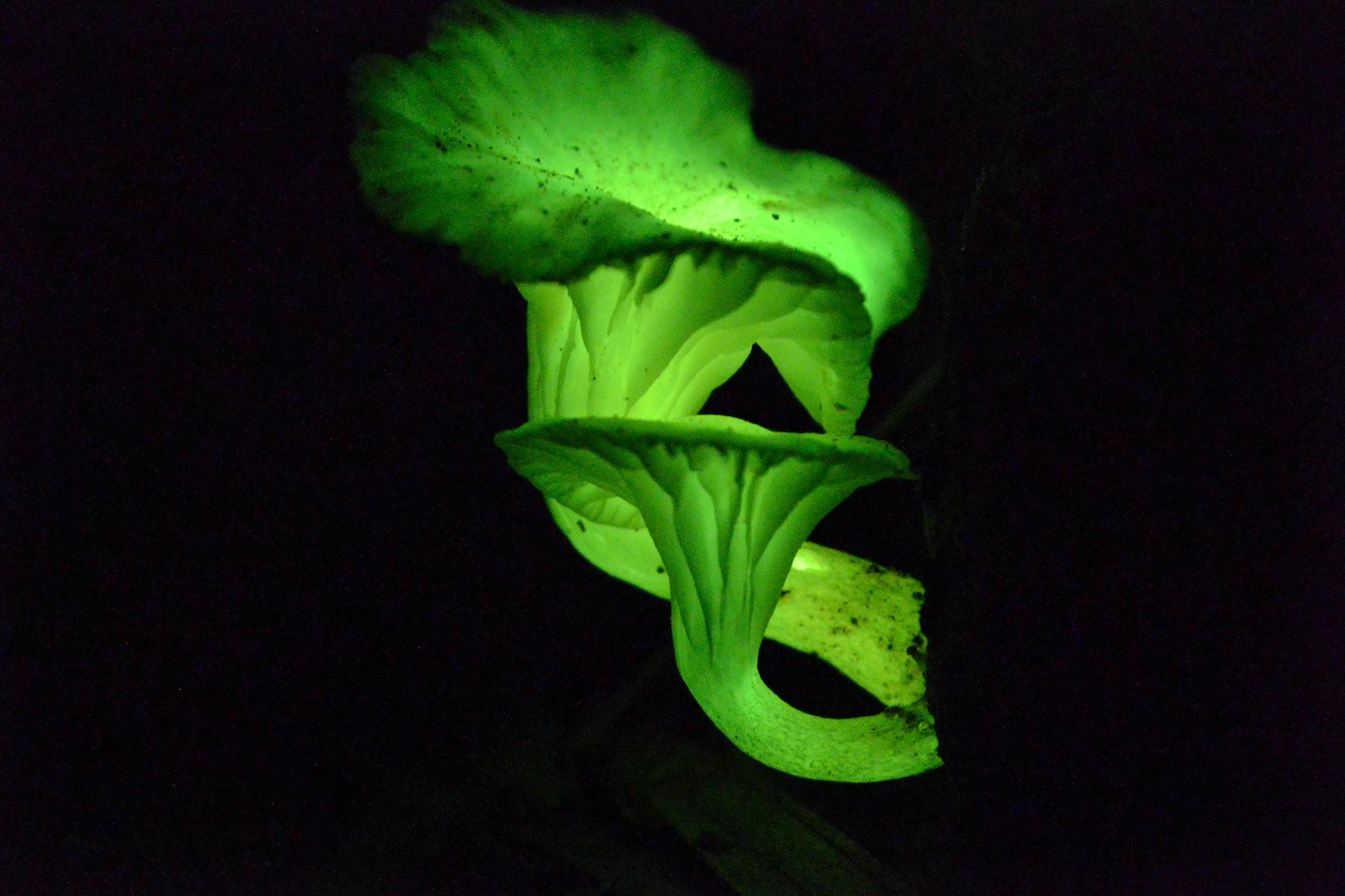 bioluminescent mushroom