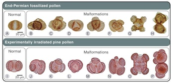 Scientists found that pine trees exposed to elevated UV-B radiation like that which may have occurred during the end-Permian extinction event developed mutated pollen very similar to fossilized pollen from that time period.