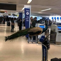Why Dexter the Emotional Support Peacock Was Plucked from an Airplane