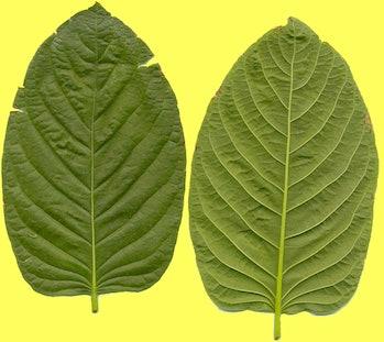 Kratom leaves yellow background