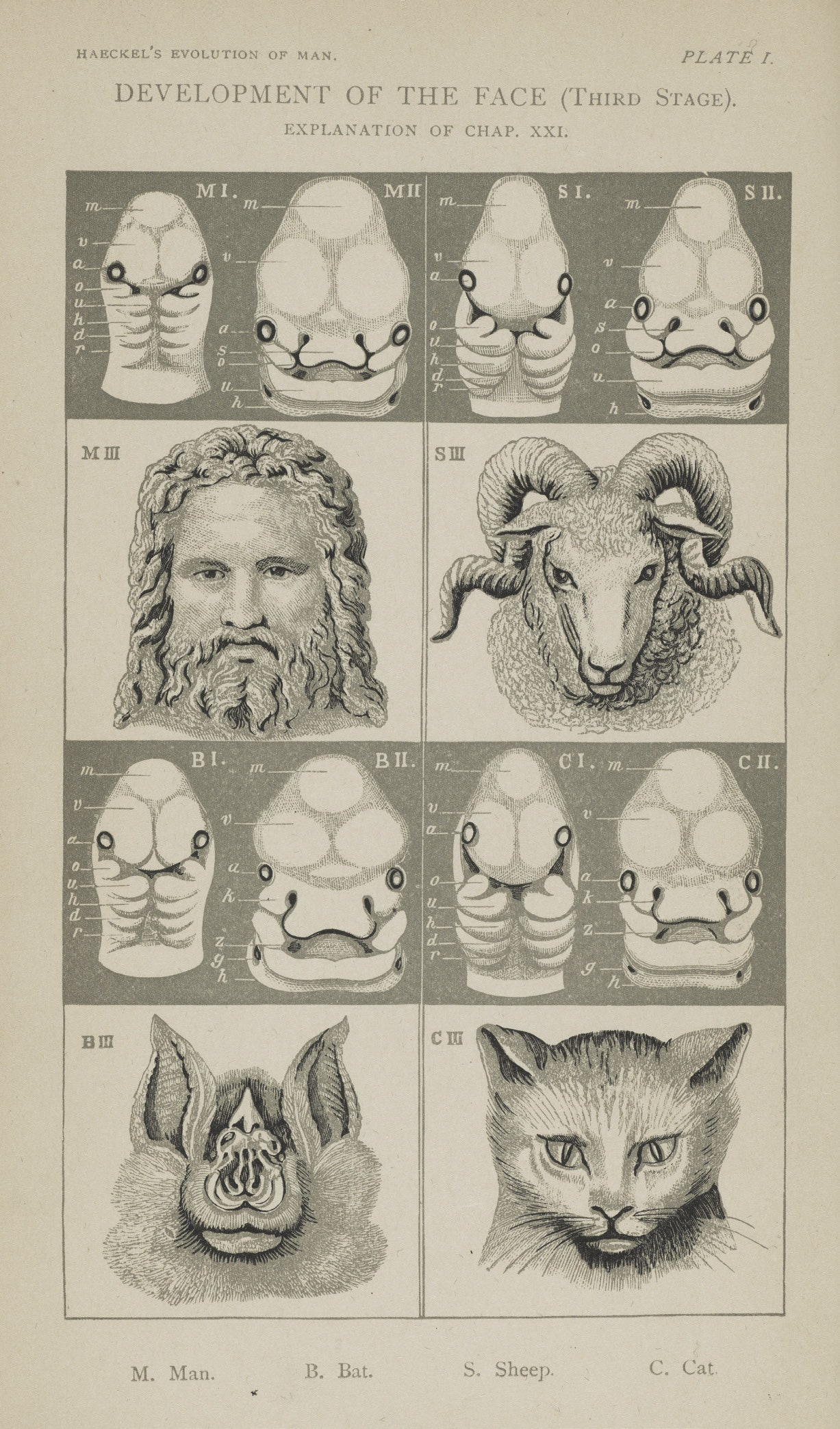 Face development of man and other animals, by Haeckel
