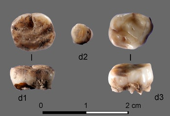 teeth yana rhinoceros horn site