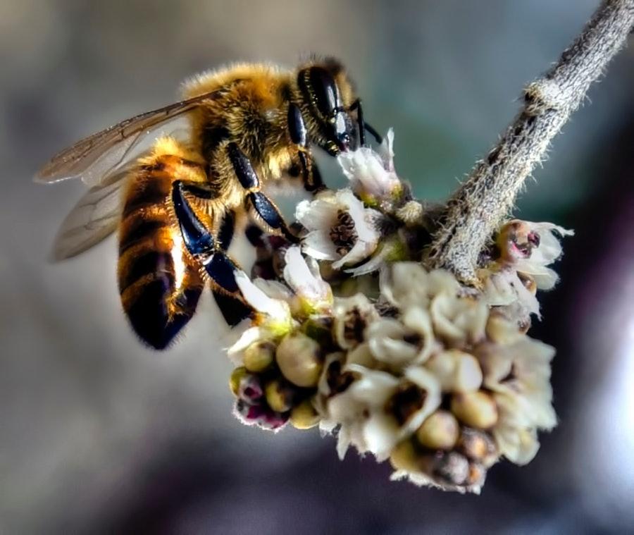 Honey Bee In The Backyard.