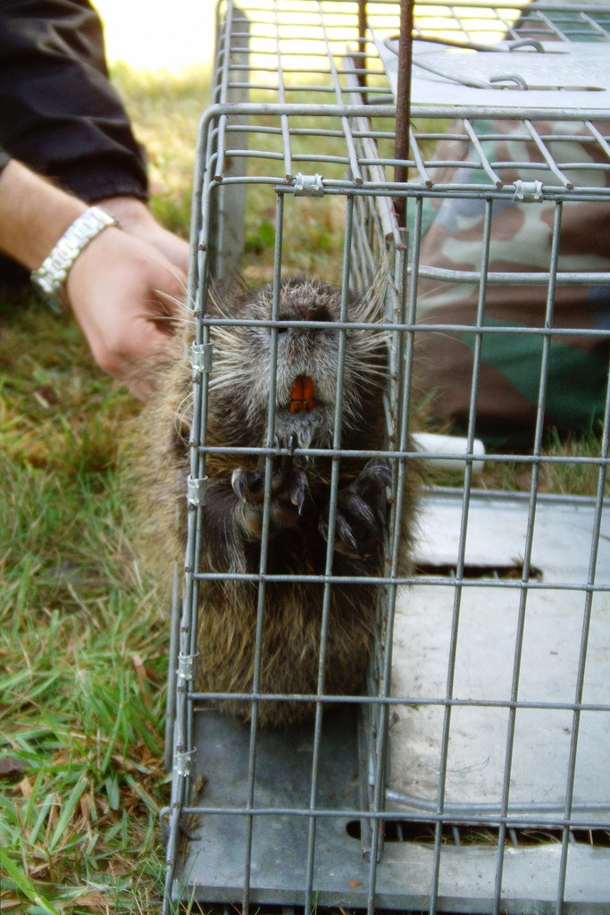 rodent in a cage