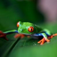The Peruvian Amazon may be a secret reservoir for a global frog pandemic